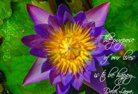 Purple Yellow Lotus