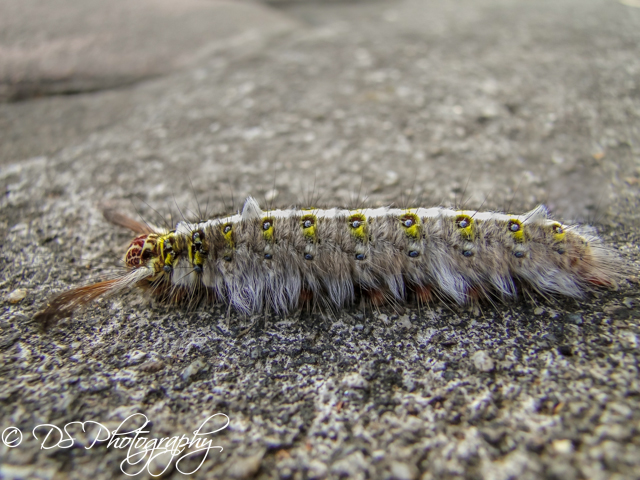 Thai Lappet Moth Caterpillar