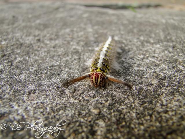 Lappet Moth Caterpillar Front