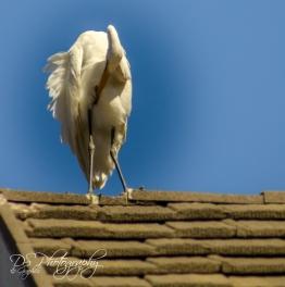Great Egret 2