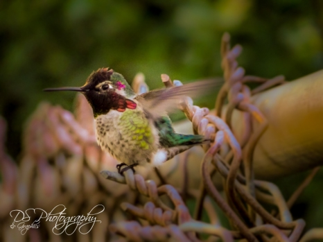 Hummingbird on Fence I