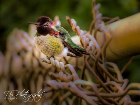 Hummingbird on Fence II