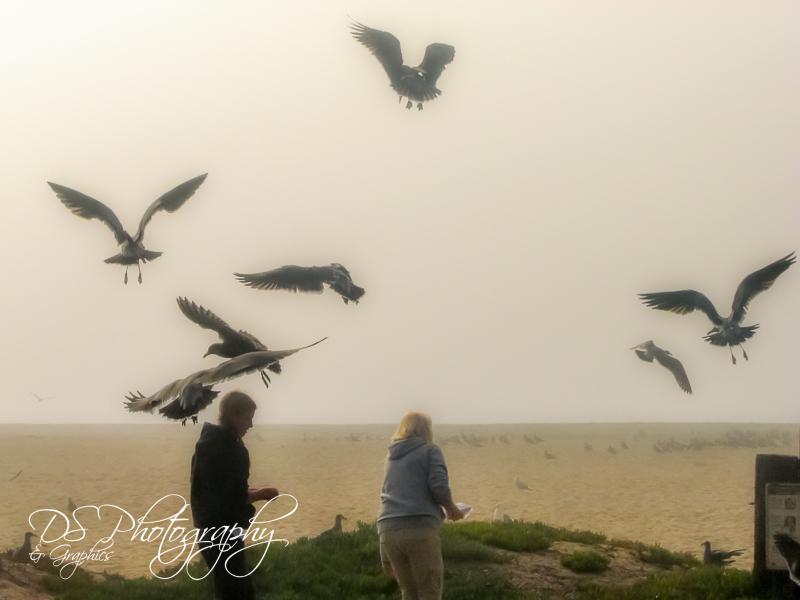 Foggy Gulls