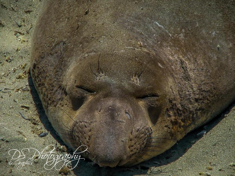 Sleepy Time Seal