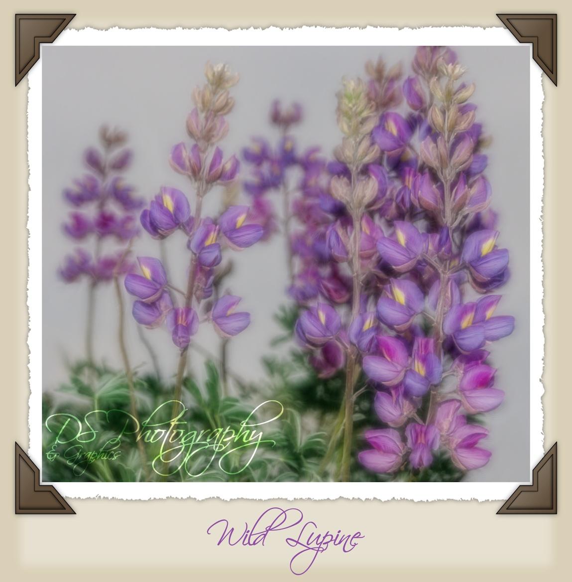 Wild Lupines