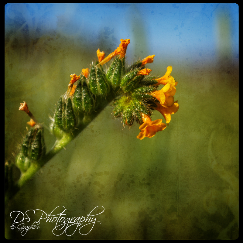 California Fiddleneck