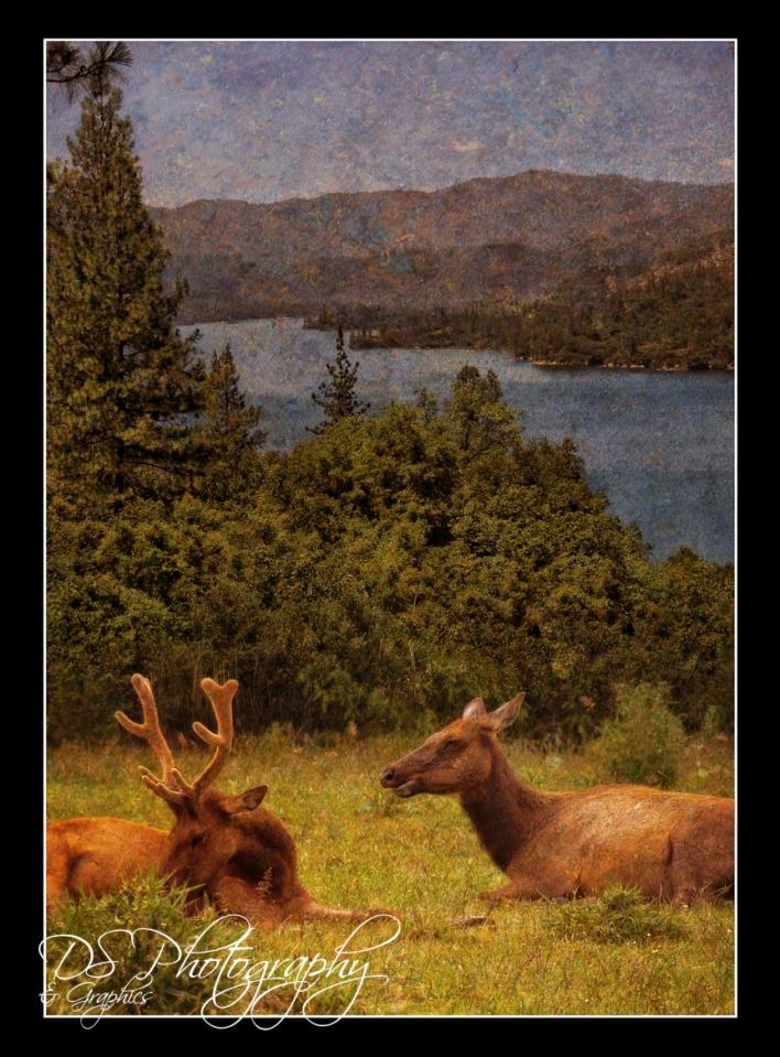 Reindeer in California